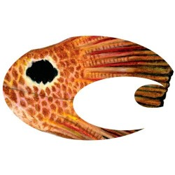 Costa Del Mar Large Costa Logo Decal Red Fish